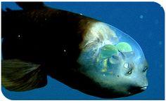 The phenomenal fish transparent head | Macropinna Microstoma