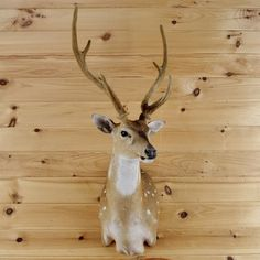 Axis Deer in Velvet Taxidermy Shoulder Mount - SW1862 for sale at Safariworks Taxidermy Sales