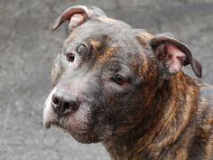 SAFE 6-12-2015 --- Manhattan Center TOBY – A1038145 ***SAFER : EXPERIENCED HOME*** NEUTERED MALE, BR BRINDLE, PIT BULL MIX, 5 yrs OWNER SUR – ONHOLDHERE, HOLD FOR ID Reason PERS PROB Intake condition EXAM REQ Intake Date 05/30/2015