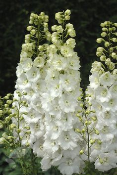 Delphinium 'Centurion White' - magnificent in the garden, also wonderful as a cut flower