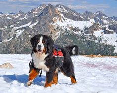 """Tonka."" Bernese Mountain Dogs enjoy trekking."