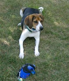 pets Creating funny noises to create the dogs head turn hahahahahahahaa Everyone loves Dogs Puppies For Sale, Dogs And Puppies, Treeing Walker Coonhound, Pet Dogs, Pets, Family Dogs, Cute Cats, Dog Breeds, Your Pet