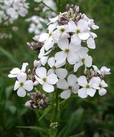 Hesperis matronalis 'Alba' - Weiße Nachtviole