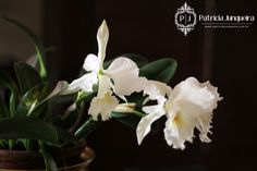 Pecas de familia e orquídeas brancas para decorar a casa! Por Patrícia Junqueira http://www.patriciajunqueira.com.br