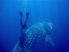 Free diving with a whale shark. I'd like to do that someday!