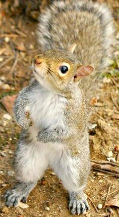 Little squirrel listens closely Cute Squirrel, Baby Squirrel, Squirrels, Cute Baby Animals, Animals And Pets, Funny Animals, Squirrel Pictures, Animal Pictures, Hamsters