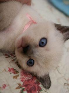 Free Siamese Kittens Siamese Kittens for Sale Siamese