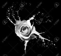 rose blanche sur fond noir dans l'eau - Recherche Google