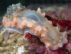 The Sea Slug Forum - Chromodoris marislae