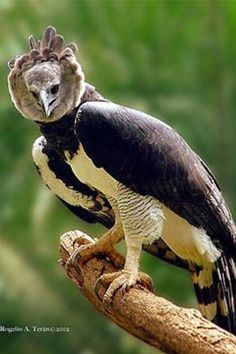 The Harpy Eagle is the national bird of Panamá http://panama.escapeartist.com