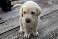 I want a puppy! Labs are so adorable
