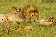 Male lion just chilling while the cubs romp around. Big Cat Family, Lion Family, Lion Pictures, Cute Animal Pictures, Daily Pictures, Cute Baby Animals, Animals And Pets, Wild Animals, The Lion Sleeps Tonight