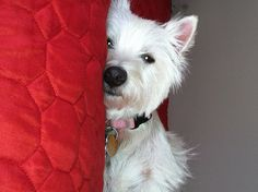 """""""My name is Bailey. I am a 3-year old West Highland White Terrier (Westie) living the good life in Avalon Run East II with my parents and 13-year old canine brother, Bruno. I enjoy fetching and playing tug-of-war with my toys, and could always use a few more. My mom took this photo after a game of tug-of-war with Bruno...and boy was I tired! """""""