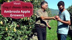 Meet Your BC Ambrosia Apple Growers  - Antonio & Tony DiMaria