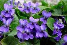 tavaszi virágok - Google-keresés Plants, Image, Google, Violets, Beautiful Flowers, Plant, Planets