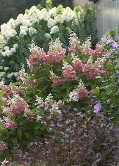 Pinky Winky® - Panicle Hydrangea - Hydrangea paniculata  want to use in hole fence border