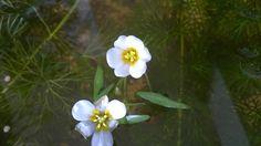 สาหร่ายหางกระรอก (Hydrilla verticillata (L.f.) Royle.)
