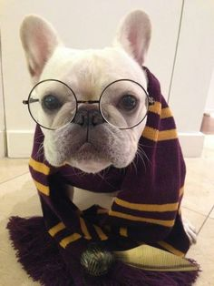 French Bulldogs may be more of Hufflepuffs than Griffyndors, but this one is still pretty darn cute.