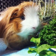 I love green ones. Can I have more? #piggy #guineapig #parsley #poopmachine #MOCHI