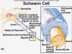 Schwann cells - in peripheral nervous system.  Function to provide support, insulation and nourishment to neurone.  Produce myelin and neurolemmal sheath around nerve fibres.  Sheath is not continuous and gaps are called Nodes of Ranvier.  Saltatory conduction - action potential jumps from node to node to increase velocity.