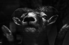 A stuffed head of Bighorn Sheep seen in store window. Canon F-1n camera. Canon FDn 50 mm f/1.2 L ssc aspherical lens.  Rollei IR 400 film @ 200 self-developed in PC-TEA 1:100 20 C for 8 mins. Optically printed on Ilford RC VC gloss paper developed in Dekol 2 mins. Scanned with flatbed scanner of HP 476 dw.