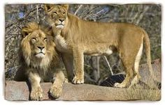 Female lions are the pride's primary hunters. They often work together to prey upon antelopes, zebras, wildebeest, and other large animals of the open grasslands. Many of these animals are faster than lions, so teamwork pays off.