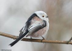 Pyrstötiainen lähikuvassa. Bird Houses, Pet Birds, Animal Pictures, Natural Beauty, Helmet, Wildlife, Creatures, Nature, Cute