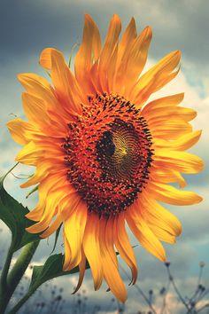 lsleofskye:Sunflower
