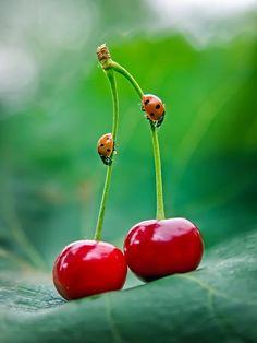 Ladybugs on Cherries by Alexander Chorny