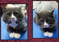 Smokey feels so much cooler and ready for Summer! Cat Hairstyles, Animal Nutrition, Healthy Pets, Pet Treats, Pet Grooming, Healthy Choices, Little Boys, Feels, Things To Come