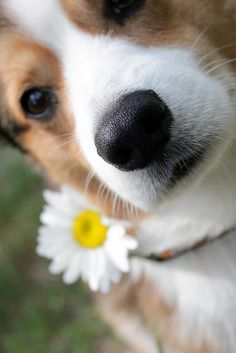 """Love is the flower you've got to let grow."" John Lennon - Cooper the Pembroke Welsh Corgi shows the love 