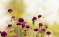 WALLPAPERS HD: Purple Garden Flowers