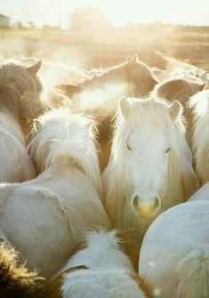Fluffy ponies in the sunlight. <3 @SMRequestrian stylemyride.net                                                                                                                                                      More