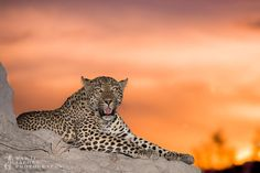 "Dawie Jacobs (@dawiejacobs_photography) on Instagram: ""The Xidulu female resting up on a mound for us on safari with me @elephantplainsgamelodge .""  #leopard #Africa #Nature"