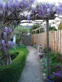 Blauwe regen in mei in de achtertuin. Prachtig en ruikt zo heerlijk.