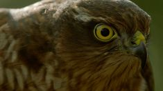 How sparrowhawks catch garden birds - Life in the Air: Episode 2 Preview...
