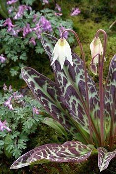 Native plant:  Erythronium oregonum  in the Richie Steffen/ Elisabeth Miller Botanical Garden via the seattle times webiste