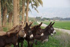 Donkeys on a Kibbutz in the Negev Desert, Israel