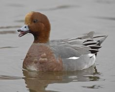 http://www.audubon.org/sites/default/files/Eurasian_Wigeon_p25-3-309_l_1.jpg