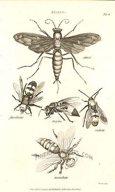 Wasps from Zoology by George Shaw