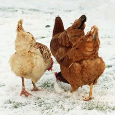 What to Feed Chickens in Winter - Animals - GRIT Magazine
