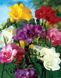 Freesias are an easy fragrant plant to grow and one that naturalises happily in gardens. Freesias originated in South Africa so adapt well to our climate and thrive in dry conditions. The corms are planted in late summer or early autumn in a sunny to partly shaded spot for flowers at the end of winter and into spring.  The most fragrant are the old-fashioned creamy white, but if you are after colour, grow the large-flowered hybrids.