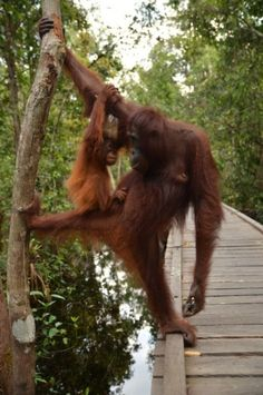 A mother-child moment…Orangutan mom and child are gazing each other with love at Camp Leakey, Tanjung Puting National Park.