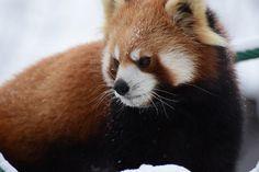 旭山動物園 渝渝(ユーユー)  Red pandas レッサーパンダ 小熊猫