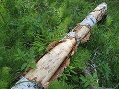 Koprategu / Beavers job by Minest Beavers