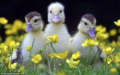 Sweet & Fluffy - Cute Little Birdies :)