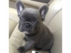 Shuw Quatly Blue French Bulldogs pupies