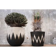 "WEBSTA @ aneaken - *older👴🏽👴🏼⚡️--------------------Euphorbia fuscaEuphorbia ""Super"" valida#invisibleink #invisible_ink--------------------#BASE_ANEA_BOTANIZE#succulent #cactus #plant #botanize #aneadesign #caudex #caudiciform #daikanyama #japanese #bonsai #bonsaiart #bonsailife #Euphorbia #fusca#Supervalida #valida"