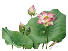 Sacred Lotus by Jenny Phillips
