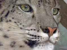 Snow Leopard by Milan Vorisek, via Flickr